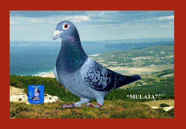 20037-99-mulata-3